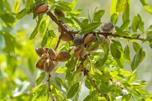 Almonds Swept California Farms. Then the Water Ran Out.